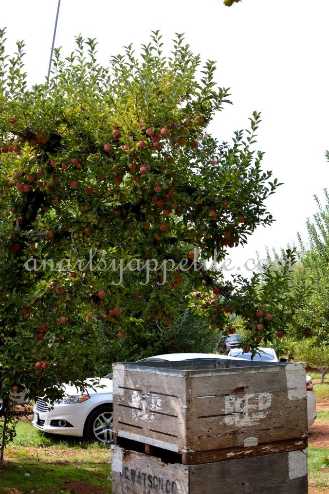 Apple Picking at Apple Farms, Denver Dan, High Hill Apple Farm, Fall Travel 2017, California Travel